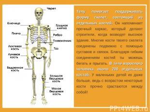 Телу помогает поддерживать форму скелет, состоящий из отдельных костей. Он напом
