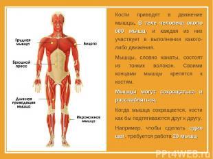Кости приводят в движение мышцы. В теле человека около 600 мышц, и каждая из них