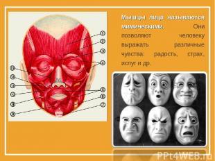 Мышцы лица называются мимическими. Они позволяют человеку выражать различные чув