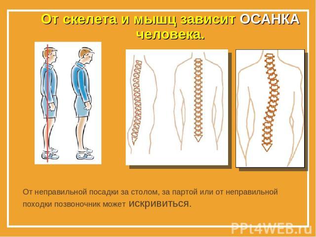 От скелета и мышц зависит ОСАНКА человека. От неправильной посадки за столом, за партой или от неправильной походки позвоночник может искривиться.