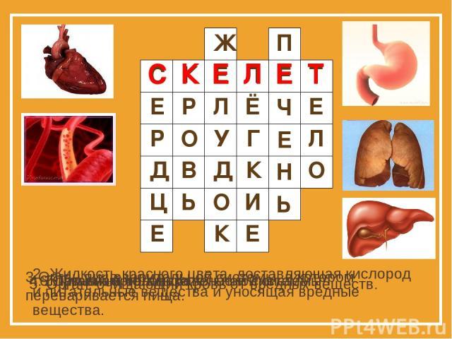 1. Главный орган кровеносной системы. 2. Жидкость красного цвета, доставляющая кислород и питательные вещества и уносящая вредные вещества. 3.Орган пищеварительной системы, в котором переваривается пища. 4. Главный орган дыхательной системы. 5. Орга…