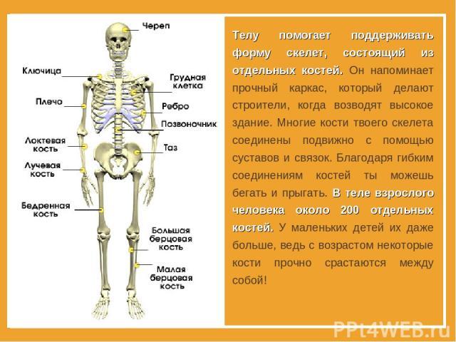 Телу помогает поддерживать форму скелет, состоящий из отдельных костей. Он напоминает прочный каркас, который делают строители, когда возводят высокое здание. Многие кости твоего скелета соединены подвижно с помощью суставов и связок. Благодаря гибк…