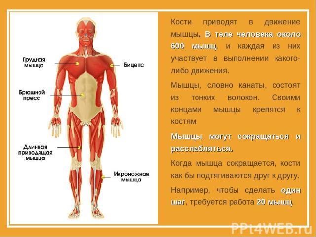 Кости приводят в движение мышцы. В теле человека около 600 мышц, и каждая из них участвует в выполнении какого-либо движения. Мышцы, словно канаты, состоят из тонких волокон. Своими концами мышцы крепятся к костям. Мышцы могут сокращаться и расслабл…