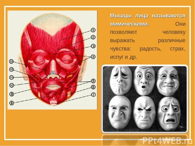 Мышцы лица называются мимическими. Они позволяют человеку выражать различные чувства: радость, страх, испуг и др.