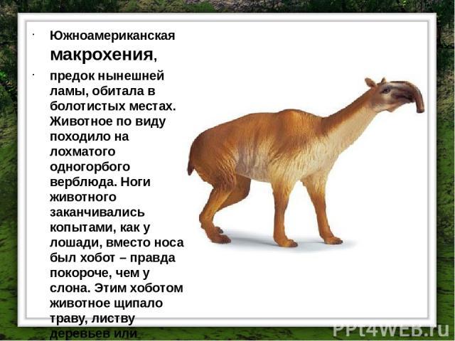 Южноамериканская макрохения, предок нынешней ламы, обитала в болотистых местах. Животное по виду походило на лохматого одногорбого верблюда. Ноги животного заканчивались копытами, как у лошади, вместо носа был хобот – правда покороче, чем у слона. Э…