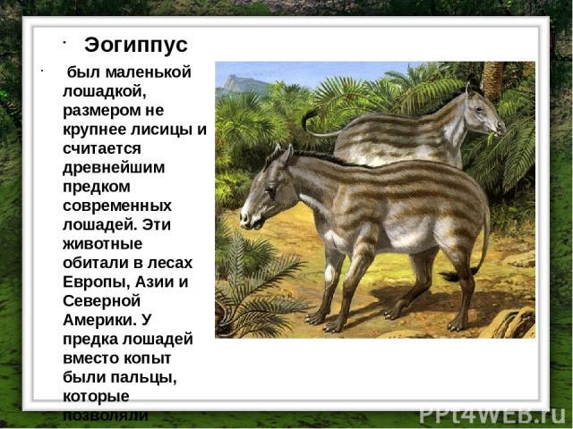 Эогиппус был маленькой лошадкой, размером не крупнее лисицы и считается древнейшим предком современных лошадей. Эти животные обитали в лесах Европы, Азии и Северной Америки. У предка лошадей вместо копыт были пальцы, которые позволяли животным быстр…