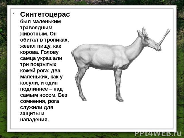 Синтетоцерас был маленьким травоядным животным. Он обитал в тропиках, жевал пищу, как корова. Голову самца украшали три покрытых кожей рога: два маленьких, как у косули, и один подлиннее – над самым носом. Без сомнения, рога служили для защиты и нап…