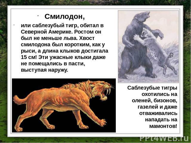 Смилодон, или саблезубый тигр, обитал в Северной Америке. Ростом он был не меньше льва. Хвост смилодона был коротким, как у рыси, а длина клыков достигала 15 см! Эти ужасные клыки даже не помещались в пасти, выступая наружу. Саблезубые тигры охотили…