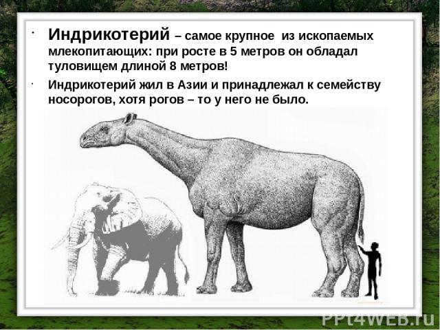 Индрикотерий – самое крупное из ископаемых млекопитающих: при росте в 5 метров он обладал туловищем длиной 8 метров! Индрикотерий жил в Азии и принадлежал к семейству носорогов, хотя рогов – то у него не было.