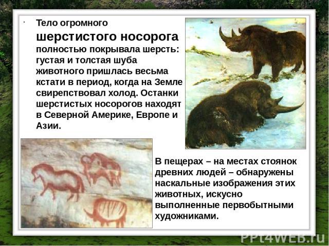 Тело огромного шерстистого носорога полностью покрывала шерсть: густая и толстая шуба животного пришлась весьма кстати в период, когда на Земле свирепствовал холод. Останки шерстистых носорогов находят в Северной Америке, Европе и Азии. В пещерах – …