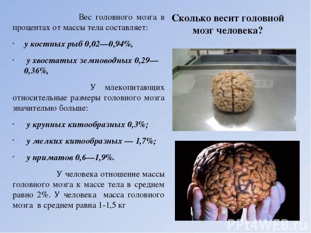 Сколько весит головной мозг человека? Вес головного мозга в процентах от массы тела составляет: у костных рыб 0,02—0,94%, у хвостатых земноводных 0,29—0,36%, У млекопитающих относительные размеры головного мозга значительно больше: у крупных китообр…