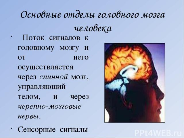 Основные отделы головного мозга человека Поток сигналов к головному мозгу и от него осуществляется через спинной мозг, управляющий телом, и через черепно-мозговые нервы. Сенсорные сигналы поступают от органов чувств в подкорковые ядра, затем в талам…