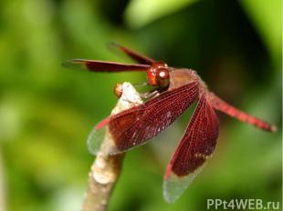 Стрекоза прекрасно летает . У неё две пары крыльев, каждая из которых движется н