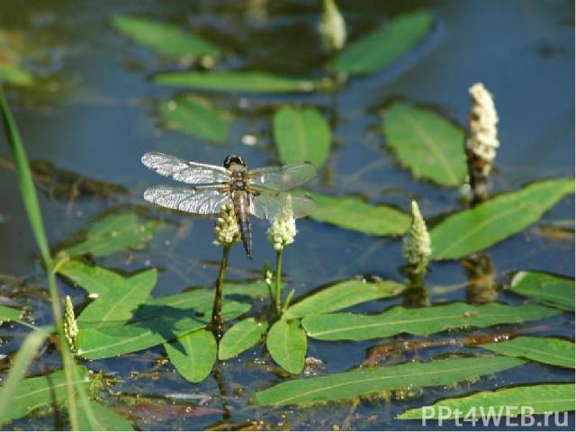 Жизнь в пруду вовсе не такая спокойная и мирная, как кажется. Огромные стрекозы с шумом проносятся по воздуху, хватая налету мух. Изящные красотки, сверкая на солнце как драгоценные камни, ловят мошкару. Да и в воде живёт множество хищников, охотящи…