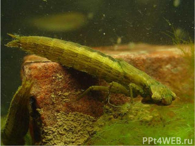 Жизнь стрекозы начинается в воде. Из яйца вылупляется личинка – наяда, живущая и растущая в пруду. Через год или два наяда выбирается из воды по стеблю какого – нибудь растения. Кожа её лопается, и на свет появляется молодая стрекоза. Не все мелкие …