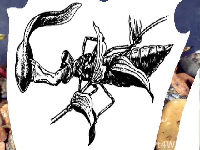 Личинка (нимфа) стрекозы – наяда – прячется на дне, маскируясь под цвет ила. Проплывающий мимо головастик не подозревает о скрытой опасности. Наяда хватает жертву, стремительно выбрасывая вперёд маску – нижнюю губу с острыми крючковатыми клыками. См…