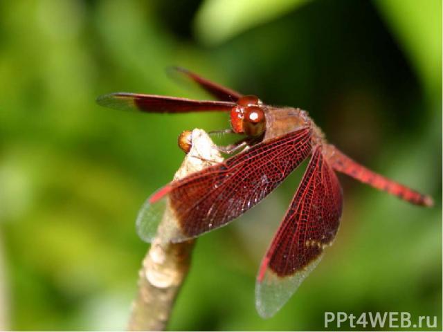Стрекоза прекрасно летает . У неё две пары крыльев, каждая из которых движется независимо от другой. Это помогает стрекозе лавировать, развивать скорость, тормозить и даже зависать в воздухе.