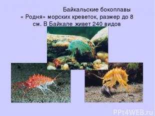 Байкальские бокоплавы « Родня» морских креветок, размер до 8 см. В Байкале живет