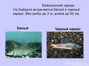 Байкальский хариус На Байкале встречается белый и черный хариус. Вес рыбы до 2 к