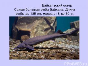 Байкальский осетр Самая большая рыба Байкала. Длина рыбы до 185 см, масса от 8 д