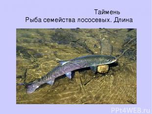 Таймень Рыба семейства лососевых. Длина до 140 см. Вес до 30 кг.