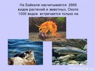 На Байкале насчитывается 2665 видов растений и животных. Около 1000 видов встреч