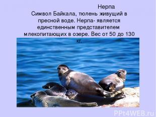 Нерпа Символ Байкала, тюлень живущий в пресной воде. Нерпа- является единственны