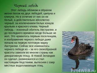 Черный лебедь Этот лебедь обликом и образом жизни похож на двух лебедей, шипуна
