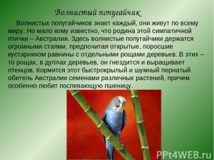 Волнистый попугайчик Волнистых попугайчиков знает каждый, они живут по всему мир