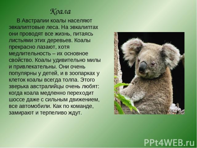 Коала В Австралии коалы населяют эвкалиптовые леса. На эвкалиптах они проводят все жизнь, питаясь листьями этих деревьев. Коалы прекрасно лазают, хотя медлительность – их основное свойство. Коалы удивительно милы и привлекательны. Они очень популярн…