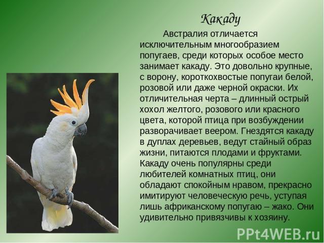 Какаду Австралия отличается исключительным многообразием попугаев, среди которых особое место занимает какаду. Это довольно крупные, с ворону, короткохвостые попугаи белой, розовой или даже черной окраски. Их отличительная черта – длинный острый хох…