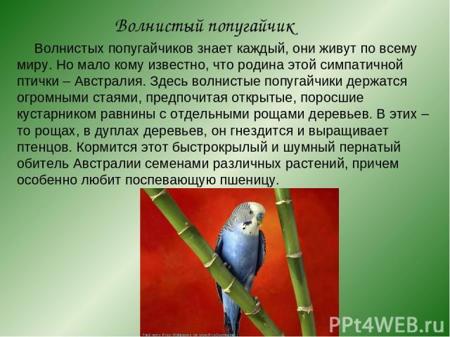 Волнистый попугайчик Волнистых попугайчиков знает каждый, они живут по всему миру. Но мало кому известно, что родина этой симпатичной птички – Австралия. Здесь волнистые попугайчики держатся огромными стаями, предпочитая открытые, поросшие кустарник…