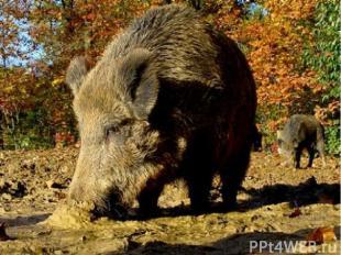 Домашние свиньи – потомки кабанов, диких свиней с более длинной и жёсткой шерсть