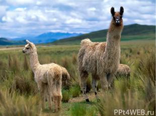 Лама – родственница верблюда. Передвигается она иноходью. Защищаясь, ламы лягают
