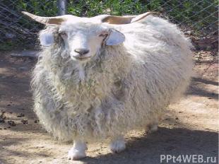 Одомашнив козу примерно 9000 лет назад, человек начал разводить этих животных из