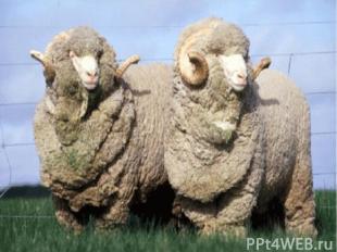 Овец одомашнили раньше, чем коров или свиней. Уже 8 000 лет назад овцы обеспечив