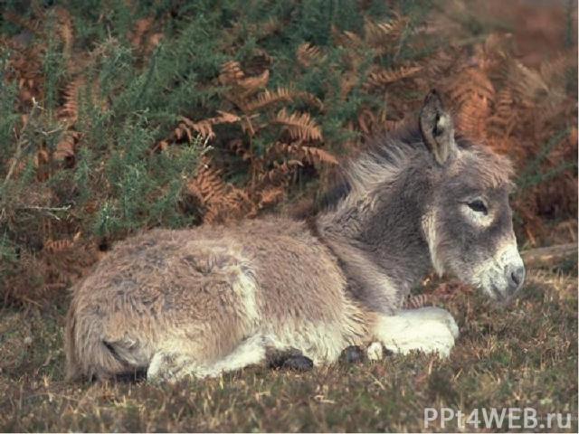 Осёл – животное, конечно, упрямое, но отнюдь не глупое. Ослы едят траву, кустарники, мало пьют, сильны и очень выносливы. Осёл живёт дольше, чем лошадь: около 40 лет. На северо-востоке Африки и кое-где в Азии ещё сохранились дикие ослы. Человек одом…