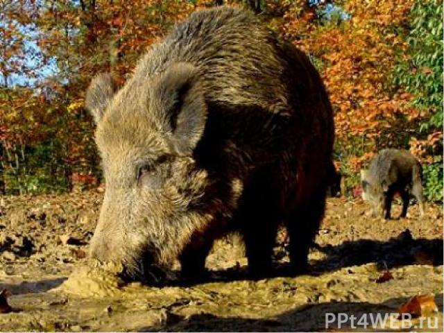 Домашние свиньи – потомки кабанов, диких свиней с более длинной и жёсткой шерстью. которые уже много веков населяют леса Европы и Азии. Свиньи умны и поддаются обучению так же хорошо, как и собаки. Люди одомашнили свинью ещё в каменном веке. Свиней …
