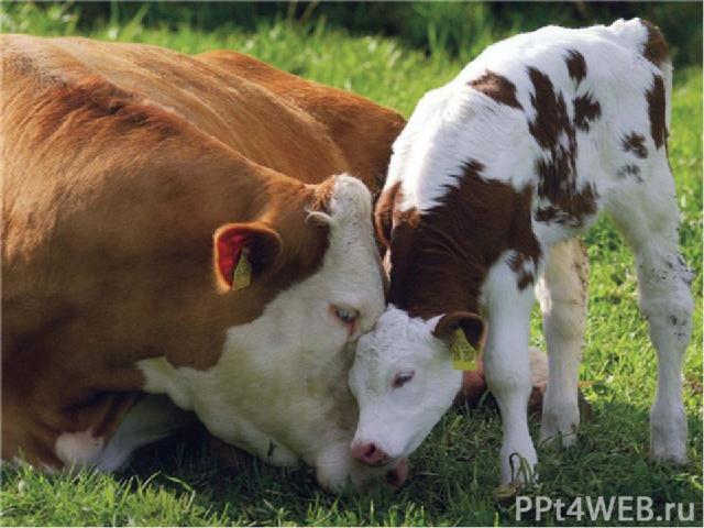 Человек одомашнил корову и её родственников – бизонов, яков, зебу, буйволов – около 6 000 лет назад. С тех пор кого – то из них можно увидеть в крестьянских хозяйствах всего мира. Сильных животных запрягают в телеги и плуги, они дают нам молоко, мяс…