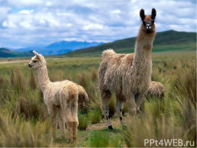 Лама – родственница верблюда. Передвигается она иноходью. Защищаясь, ламы лягаются, как лошади, поэтому сзади к ним лучше не подходить. В Южной Америке лам пасут вместе с овцами, чтобы более крупные ламы отпугивали койотов и лис. Ламы живут в горах,…