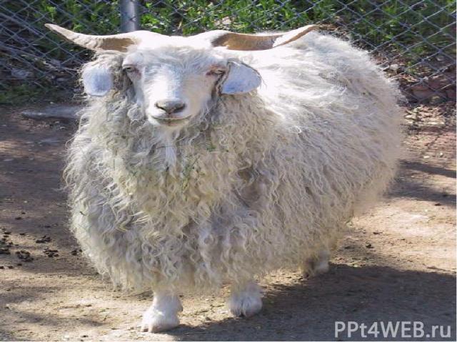 Одомашнив козу примерно 9000 лет назад, человек начал разводить этих животных из-за их длинной шерсти и вкусного , полезного молока, из которого делают знаменитый сыр. Предки домашних коз – дикие аравийские козы. Они настоящие альпинистки, и в горах…
