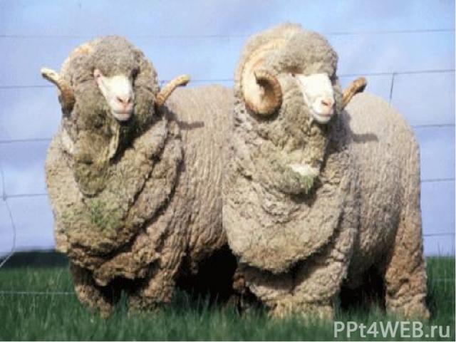 Овец одомашнили раньше, чем коров или свиней. Уже 8 000 лет назад овцы обеспечивали людей мясом, молоком, одеждой. Современные породы овец подразделяются на мясные, шерстяные и мясо – шерстяные. Веками во всём мире славилась английская шерсть: из не…