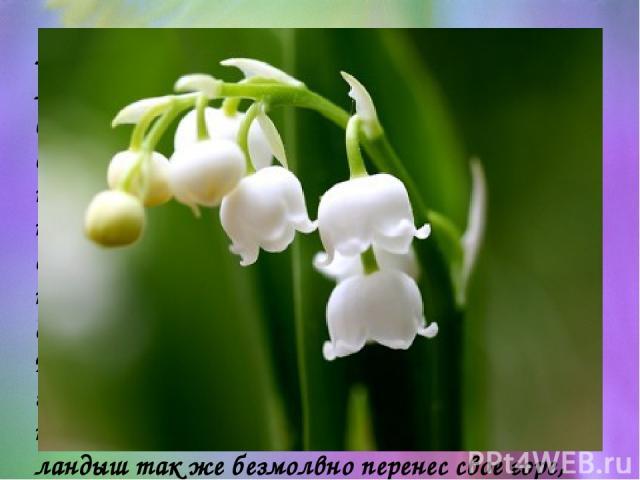 Ландыш сравнивают со слезами и старая легенда гласит, что этот чудный цветок вырос из упавших на землю слёз. Тонкий аромат ландыша привлекает пчел и шмелей, которые способствуют опылению цветков, после чего развиваются вначале зеленые, а при созрева…