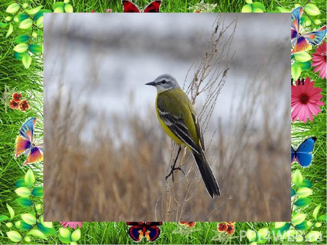 Насекомые являются основной пищей и для луговых птиц :