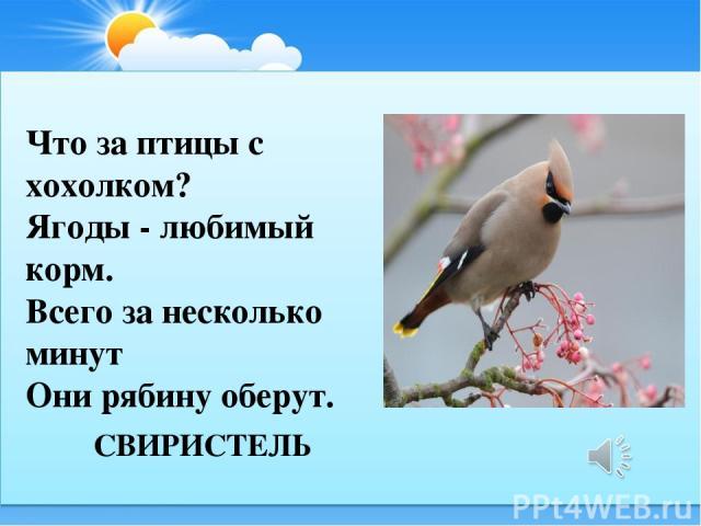 СВИРИСТЕЛЬ Что за птицы с хохолком? Ягоды - любимый корм. Всего за несколько минут Они рябину оберут.