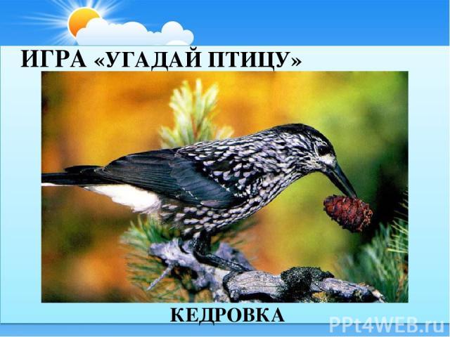 ИГРА «УГАДАЙ ПТИЦУ» КЕДРОВКА