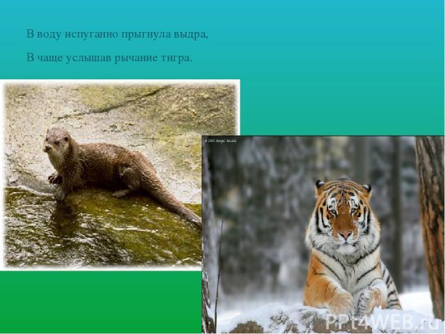 В воду испуганно прыгнула выдра, В чаще услышав рычание тигра.