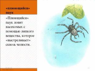 «плюющийся» паук «Плюющийся» паук ловит насекомых с помощью липкого вещества, ко