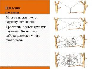 Плетение паутины Многие пауки плетут паутину ежедневно. Крестовик плетёт круглую