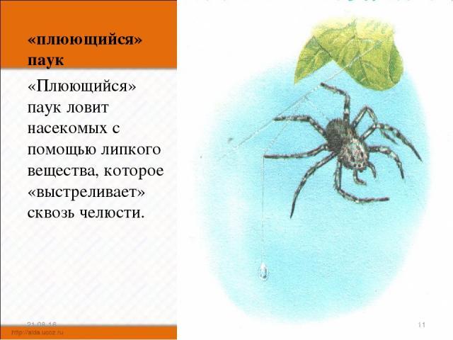 «плюющийся» паук «Плюющийся» паук ловит насекомых с помощью липкого вещества, которое «выстреливает» сквозь челюсти. * *